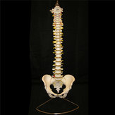 Professional Human Spine Model Flexible  Medical Anatomical Spine Model