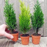 Egrow 50 SZTUK Włoski Nasiona Cypress Cupressus Sempervirens Home Garden Bonsai Nasiona do sadzenia
