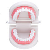 1:1 Human Dental Model Teeth Open Close Model Gingiva Visible Anatomic Demonstration Teeth Brush Flossing Teaching Medical Model