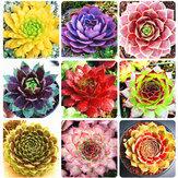Egrow 100Pcs/Bag Sempervivum Seeds Colorful Gardening Succulent Plant Flower Seed