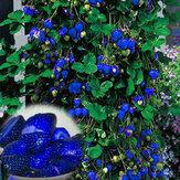 500Pçs Sementes de Morango Azul Vegetais Fruta Rara Bonsai Comestível Jardim Planta de Escalada