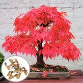 Egrow 10Stücker Rote Ahornblätter Samen Garten Bonsai Schöne Indoor Pflanze