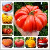 Egrow 100 Pz / Borsa Gigante Pomodoro Semi Piante Organico Heirloom Piante Verdure Perenne Non OGM Pianta Pot Per La Casa Giardino Piantare