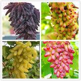 घर और उद्यान के लिए 50 पीसी / पैक फिंगर ग्रेप सीड स्वादिष्ट पौष्टिक फलों के बीज के बीज