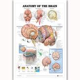 Human Anatomy of the Brain Plakat Anatomical Chart Human Body Medical Education