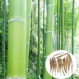 Egrow100adetBahçeEvergreenArbor Moso Bambu Tohumlar Avlu Phyllostachys Pubescens Bitkiler