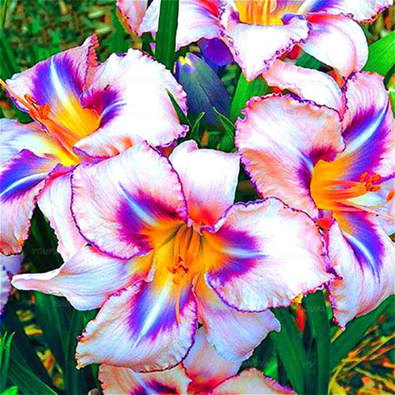 Egrow 100 Adet / paket Zambak Tohumlar Rare Perulu Zambak Alstroemeria Bonsai Bitkiler Mix-Renk Güzel Zambaklar Çiçek Ev Için & Bahçe Dekorasyon