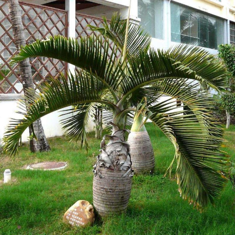 Egrow 20 Pcs Exotic Bottle Palm Seeds Bonsai Tropical Ornamental Tree Plant  Seeds Garden Planting
