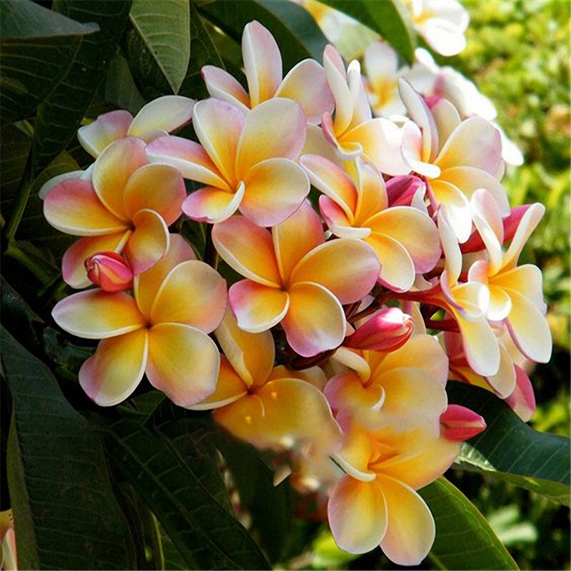 Egrow 100Pcs/Pack Plumeria Seeds Garden DIY Bonsai Hawaiian Frangipani Decorations Flower Seeds