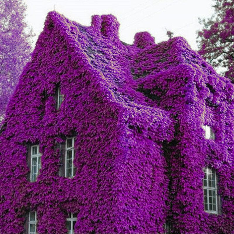 100Pcs Parfüm Gökkuşağı Tırmanma Tesisleri Coulourful Rock Çiçeği Çiçek Tohumlar