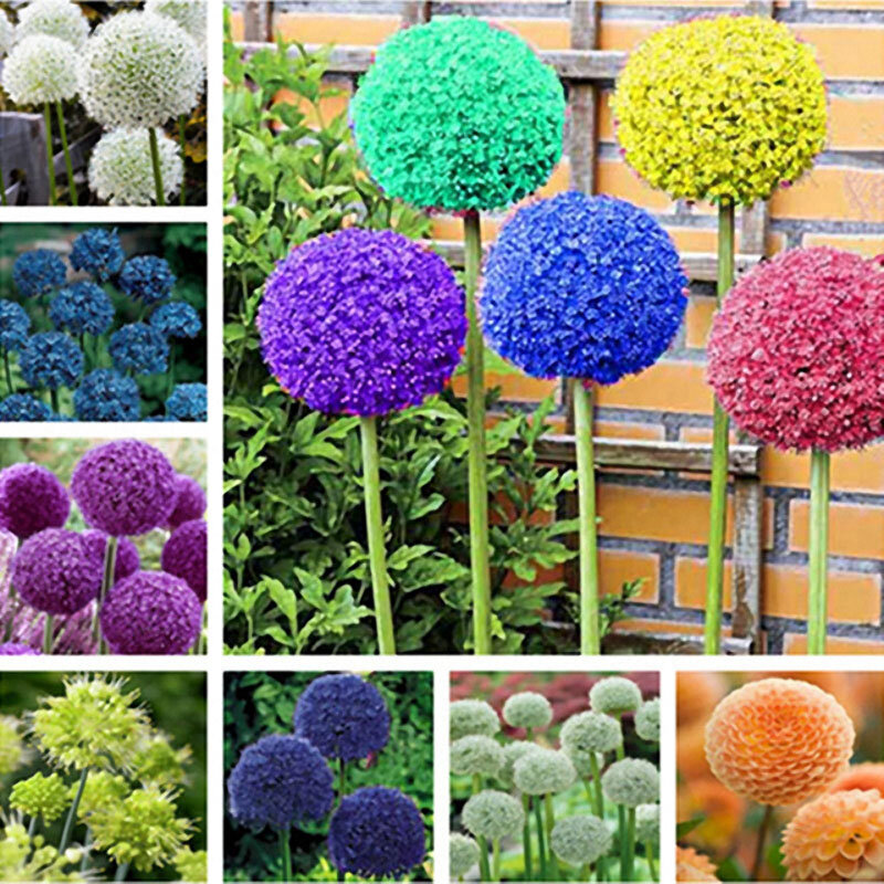 Egrow 100 PCS Garden Outdoor Giant Allium Giganteum Beautiful Flower Seeds Bonsai Plant Seeds