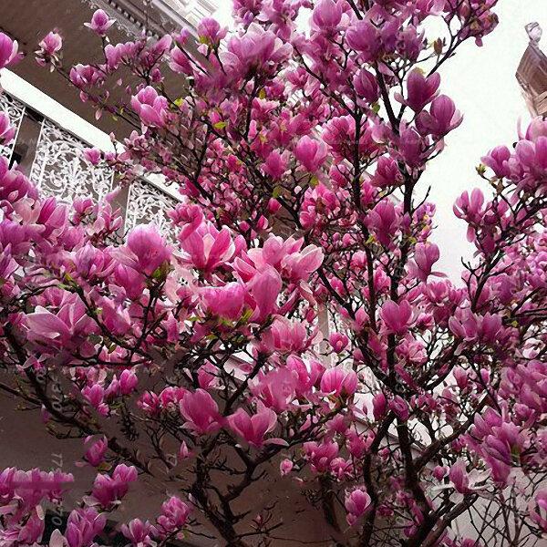Egrow 10Pcs/Pack Magnolia Seeds Garden Light Fragrant Tree Seeds Ornamental Plants