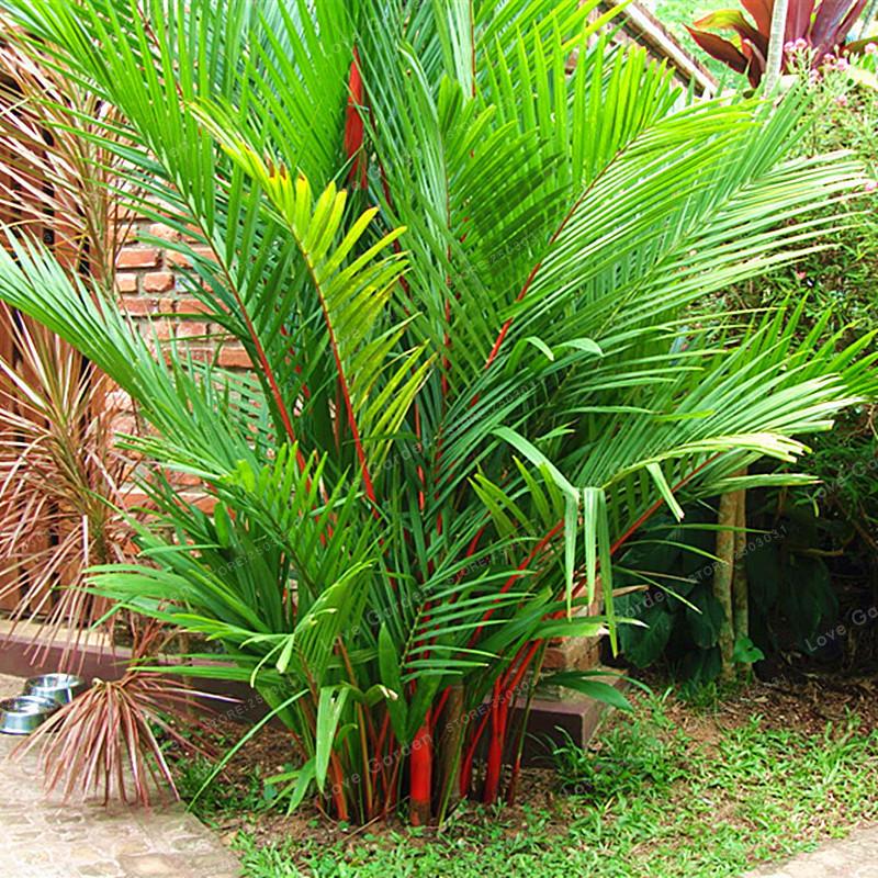 Egrow 100 Pcs/Pack Palm Seeds Lipstick Palm Cyrtostachys Renda Tree on herb plants for home, vine plants for home, potted plants for home, tropical plants for home, water plants for home, decorative plants for home, indoor plants for home,