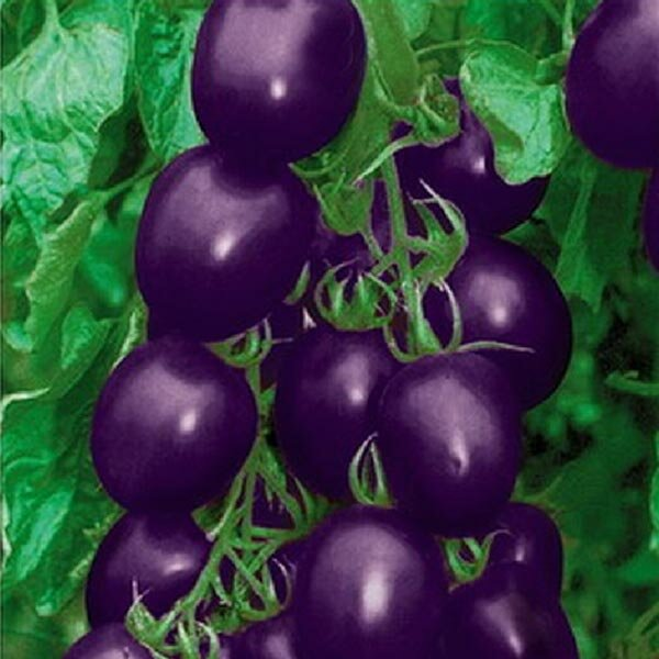 Description :This particular tomato has a mysterious color - purple.Thick pericarp, heatproof, strong Resistence, rich nutrition, high-end special vegetables.Specification :Germination temperature : 18-25Sprout days : 7-15 daysGrowth optimum temperature : 18-36Space : 20 x 30 cmSunlight requirement : Halfshadow,SunninessSeeded to mature : about 70daysSeed longevity : About 2 yearsGermination percentage : 80%Weight : App 5gFruit color : purplePlant height : sprawlUse : View, ediblePackage Included :1 x 20pcs Purple Tomato Seeds