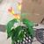Egrow 50 PCS Calla Lily Семена Сад Балкон горшечный многолетний цветок Семена Бонсай Айви Цветы