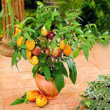Milk Fruit Tree 30 PCS Seeds Sweet Taste Vegetables Rare Milk Plants NEW Bonsai