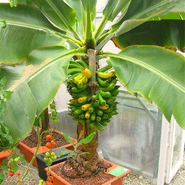 Egrow 200 Cái Vườn Chuối Hạt giống Cây lùn ngoài trời Cây chuối Sữa Hương vị Trái cây trong chậu lâu năm