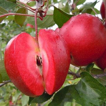 Egrow 50 Pca /パックレッドフリースアップルシードレッドアップルフルーツツリーシードガーデン植栽