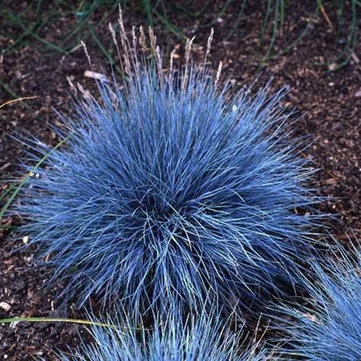100Pcs Blu Festuca Grass Seeds perenne Hardy Erba ornamentale giardino domestiche