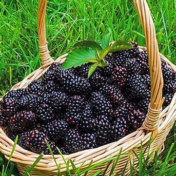 Egrow 200 sztuk Blackberry Fruit Seeds Home Garden Sadzenie wieloletnie doniczkowe nasiona słodkich owoców