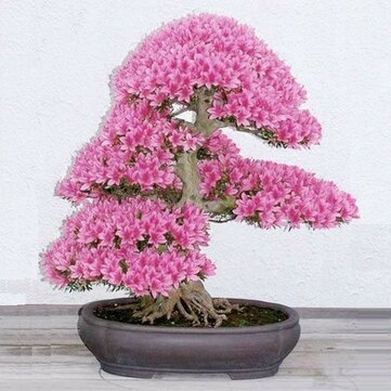 Egrow 10Pcs Rare Sakura Seeds Cherry Blossoms Seeds Garden Flower Bonsai Tree